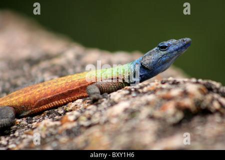 Rainbow Lizard - Stock Photo