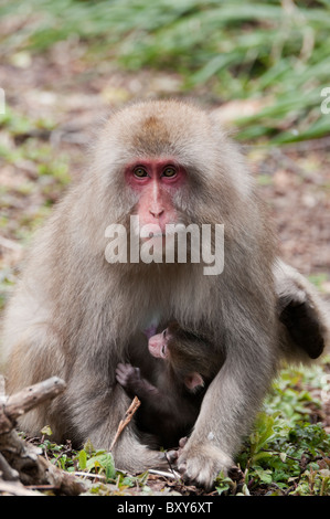 Japanese Macaque (Macaca fuscata) mother and young near Kamikochi in the early spring. - Stock Photo