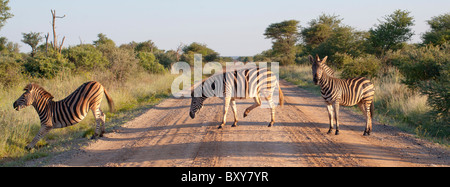 Plains Zebra (Equus quagga) crossing the road at Madikwe, South Africa and reminiscent of the Beatles Abbey Road - Stock Photo