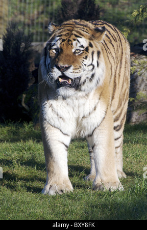 Large male Amur (Siberian) tiger walking towards camera - Stock Photo
