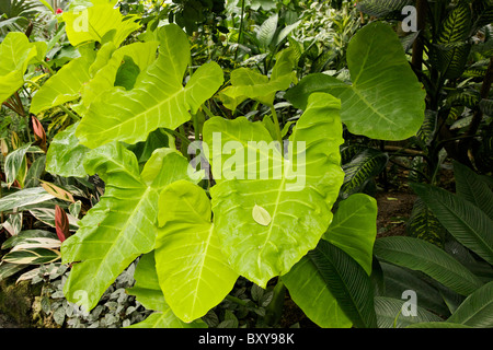 Girant taro also called elephant ear. Lincoln Park Conservatory Chicago. - Stock Photo