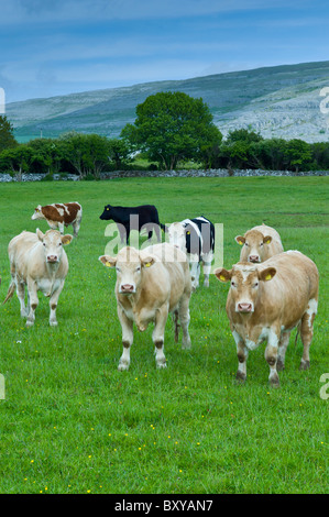 Cattle with The Burren karst landscape behind, County Clare, West of Ireland - Stock Photo