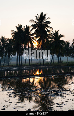Prepared Indian rice paddy in front of palm trees at sunrise in the Indian countryside. Andhra Pradesh, India - Stock Photo