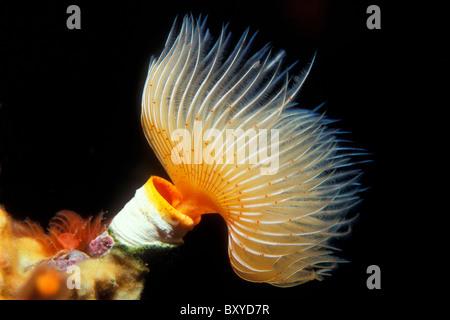 Tube Worm, Protula sp., Vis, Dalmatia, Adriatic Sea, Croatia - Stock Photo