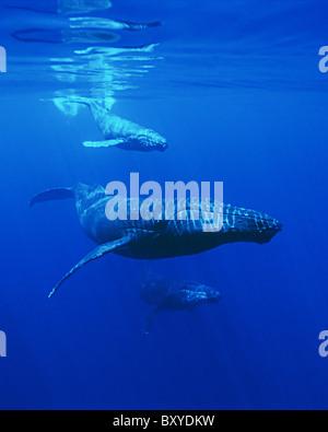 Humpback Whale Mother and Calf, Megaptera novaeangliae, Hawaii, USA - Stock Photo