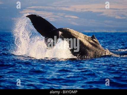 Fluke of Humpback Whale, Megaptera novaeangliae, Hawaii, USA - Stock Photo