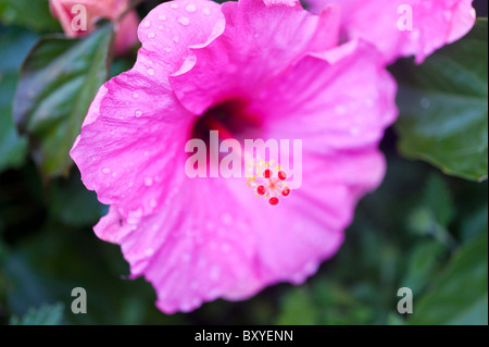 Magenta Hibiscus flower with drops of rain - Stock Photo