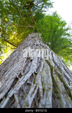 Taxodium Distichum taxodiaceae tree - Stock Photo