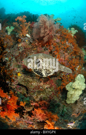 Map Puffer on Coral Reef, Arothron mappa, Raja Ampat, West Papua, Indonesia - Stock Photo