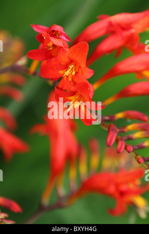 Walton Hall and Gardens. Close up summer view of montbretia in full bloom at Walton Hall Gardens. - Stock Photo