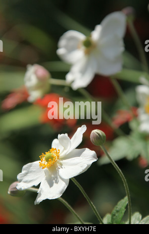 Weeping Ash Garden, England. Close up summer view of Anemone japonica in full bloom at Weeping Ash Gardens. - Stock Photo