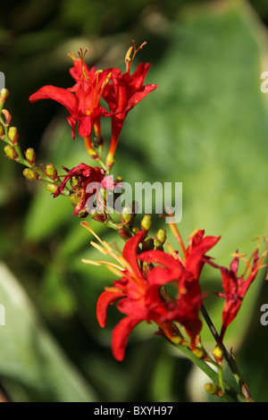 Weeping Ash Garden, England. Close up summer view of Crocosmia Lucifer in bloom at Weeping Ash Gardens. - Stock Photo