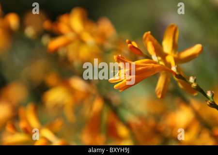 Weeping Ash Garden, England. Close up summer view of Crocosmia 'George Davidson' in bloom at Weeping Ash Gardens. - Stock Photo