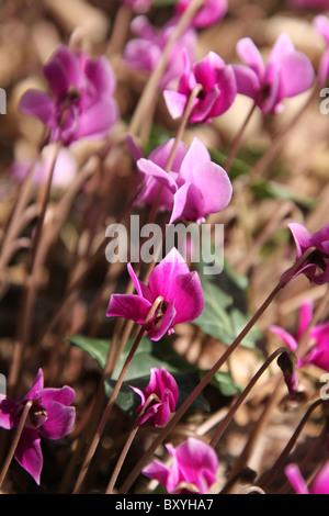 Weeping Ash Garden, England. Close up summer view of Cyclamen hedenifoilium in full bloom at Weeping Ash Gardens. - Stock Photo