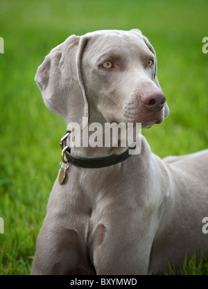 A young male Weimaraner - Stock Photo