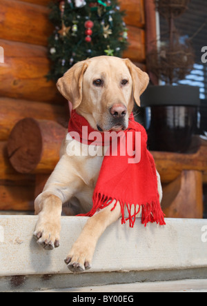beautiful labrador retriever sitting on porch alert - Stock Photo
