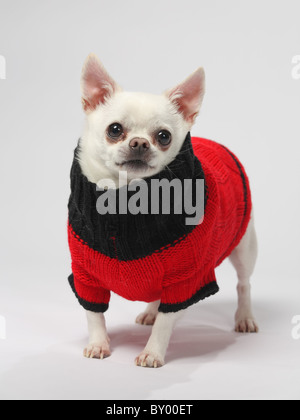 cute little chihuahua dog wearing sweater standing on white background - Stock Photo