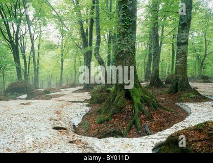 Beech Primeval Forest, Fujisato, Akita, Japan - Stock Photo