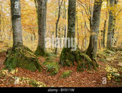 Autumn Leaves of Beech Primeval Forest, Fujisato, Akita, Japan - Stock Photo