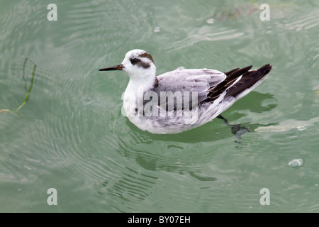 Grey Phalarope; Phalaropus fulicarius; winter plumage; Cornwall - Stock Photo