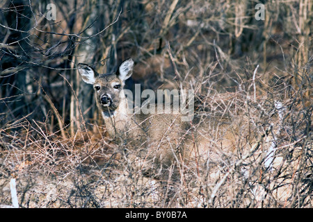 White-tailed deer blends in with the forest. - Stock Photo