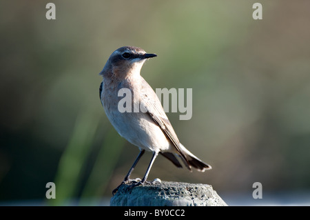 Wheatear perched on post - Stock Photo