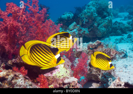 Red Sea raccoon butterflyfish (Chaetodon fasciatus) over coral reef with soft corals. Egypt, Red Sea. - Stock Photo
