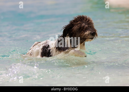 Spanish Water Dog, Perro de Agua Espanol (Canis lupus familiaris). Adult swimming - Stock Photo