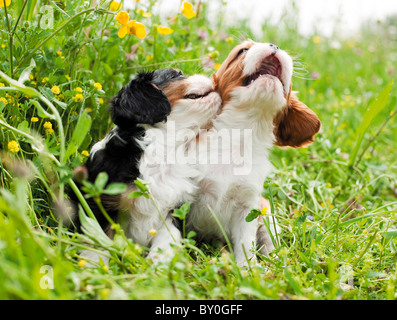 Cavalier King Charles Spaniel. Two puppies playing on meadow - Stock Photo