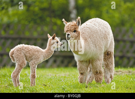Alpaca (Vicugna pacos). Female and young on a meadow - Stock Photo