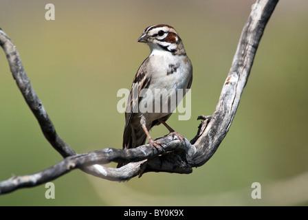 Lark Sparrow Chondestes grammacus Anza Borrego State Park California USA - Stock Photo