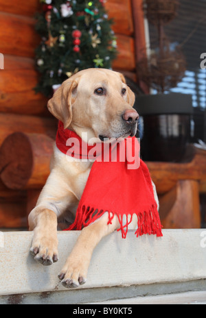 handsome male yellow lab sitting on porch at Christmastime - Stock Photo