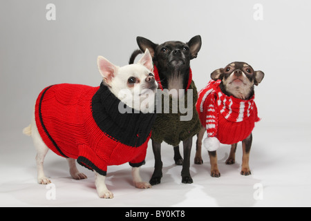 three adorable chihuahua pet dogs dressed in winter outfits - Stock Photo