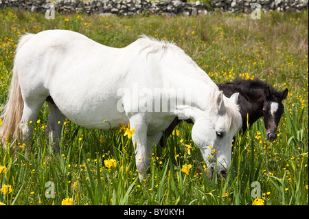 Connemara pony grey mare and foal in buttercup meadow, Connemara, County Galway, Ireland - Stock Photo