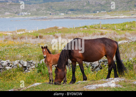 Connemara pony mare and foal in buttercup meadow, Connemara, County Galway, Ireland - Stock Photo