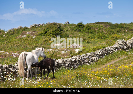 Connemara pony mare with foal suckling in buttercup meadow, Connemara, County Galway, Ireland - Stock Photo