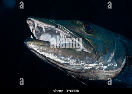 Great Barracuda, Tulamben, Bali, Indonesia - Stock Photo