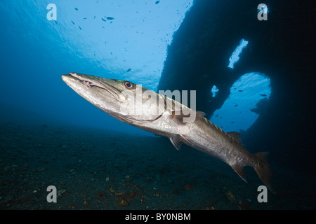 Great Barracuda at Liberty Wreck, Tulamben, Bali, Indonesia - Stock Photo