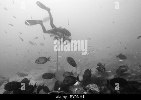 Researcher takes samples of Bull Shark Skin, Beqa Lagoon, Viti Levu, Fiji