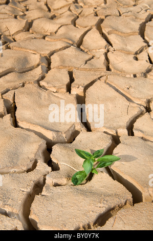 small Basil plant in apile of soil on a cracked soil surface - Stock Photo