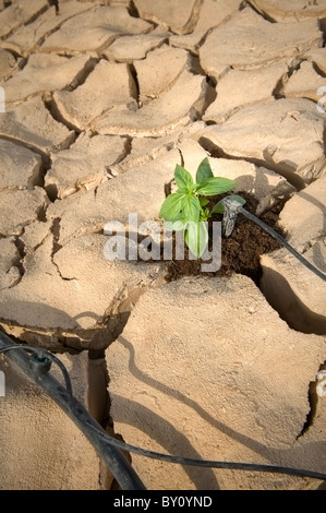 drip irrigation system watering a small basil plant on a cracked soil in the desert - Stock Photo