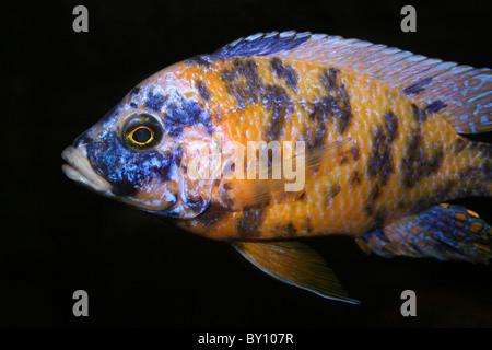 Lake Malawi Cichlid - Stock Photo