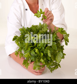 CHEF HOLDING BUNCH OF FRESH PARSLEY - Stock Photo