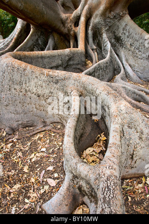 Huge buttress roots of the Moreton Bay Fig tree Ficus macrophylla in King's Park Western Australia - Stock Photo