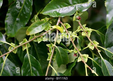 Date Plum, Diospyros lotus, Ebenaceae. Western Asia and China. Unripe Fruits. Aka Date-Plum, Guiaca, Lotus Persimmon. - Stock Photo