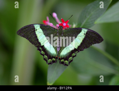 Emerald or Green Banded Swallowtail Butterfly, Papilio palinurus, Papilionidae - Stock Photo