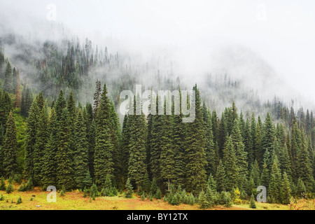 Foggy evergreen forest in the Canadian Rockies.  Yoho National Park, British Columbia, Canada. - Stock Photo