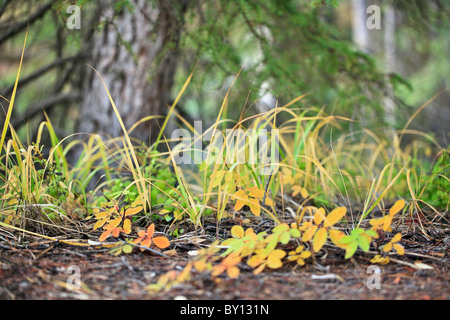 Grasses and foliage growing on forest floor.  Yoho National Park, British Columbia, Canada. - Stock Photo