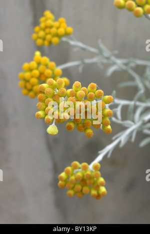 Strawflower or Everlasting Flower, Helichrysum orientale, Asteraceae (Compositae), South East Europe - Stock Photo