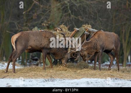 Red deer stags (Cervus elaphus) fighting near manger in winter in the snow, Denmark - Stock Photo